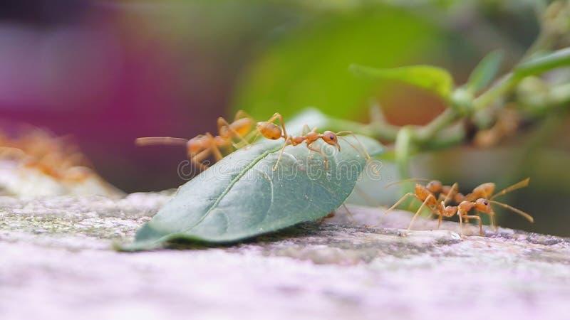 _Urumbu della formica di faraone delle formiche fotografie stock