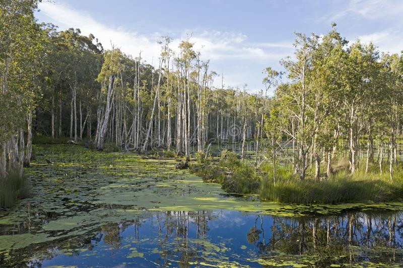 Urunga wetlands, New South Wales. Wetlands swamp at Urunga, New South Wales, Australia stock image