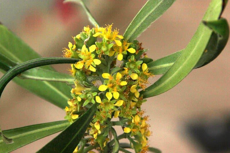 Urvilleana de Tibouchina, arbusto da glória, flor da princesa, Lasiandra foto de stock