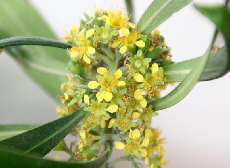 Urvilleana de Tibouchina, arbusto da glória, flor da princesa, Lasiandra imagem de stock