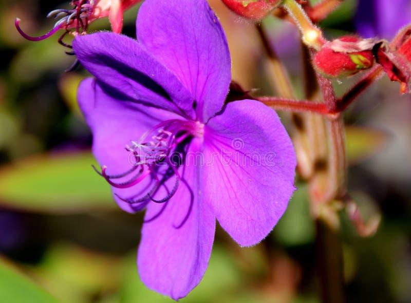 Urvilleana de Tibouchina, arbusto de la gloria, flor de la princesa, Lasiandra imágenes de archivo libres de regalías