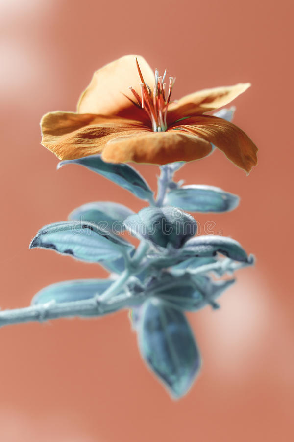 Urvilleana de Tibouchina - Princesa-flor, Glorybush, Lasiandra, princesa Flower, glória roxa fotografia de stock