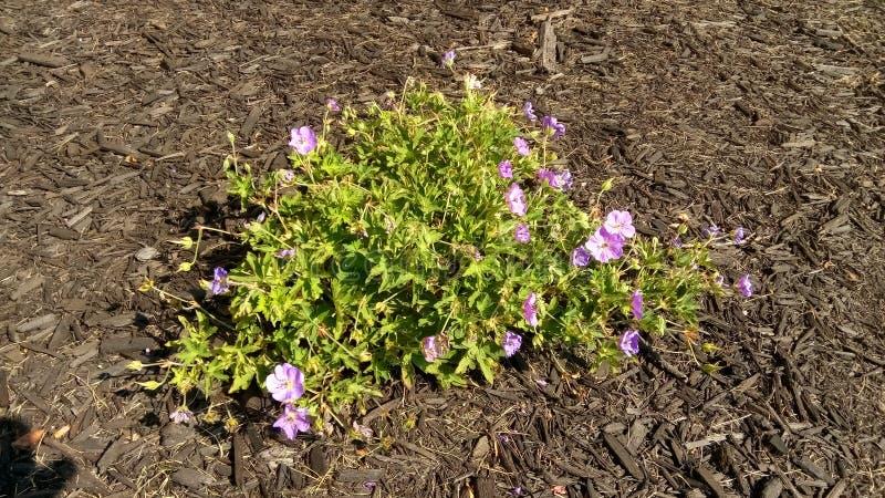 Urzędów Miasta kwiaty 4: Mali purpura kwiaty fotografia royalty free