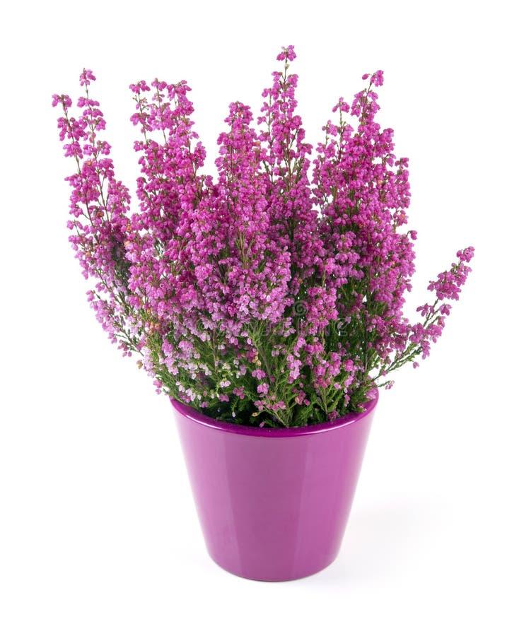 Urze cor-de-rosa plantada no potenciômetro no branco imagem de stock royalty free