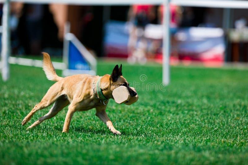 Usługowe psie malinois sztuki podczas szkolenia fotografia stock