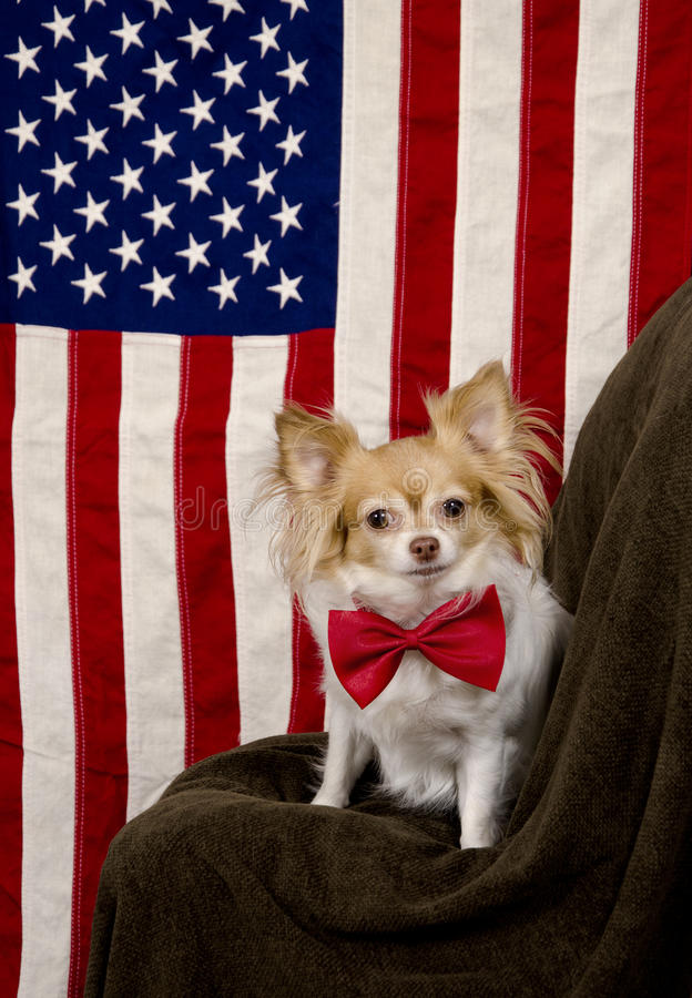 US flag and cute Chihuahua dog. Cute Chihuahua dog with large red bow sitting in front of the Star Spangled Banner looking alert stock photo