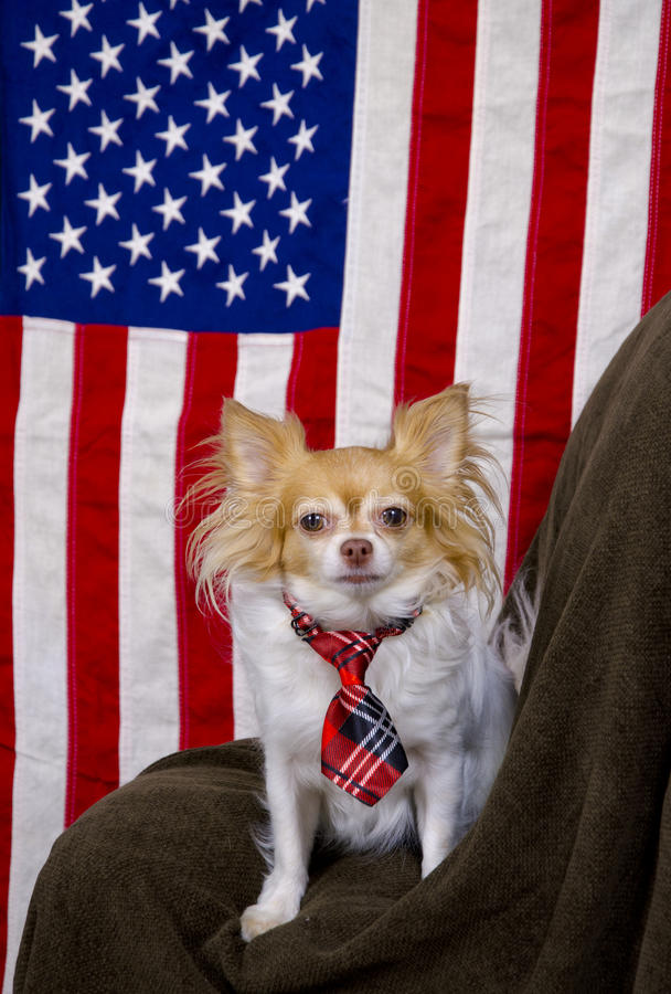 US flag and cute Chihuahua dog. Patriot Chihuahua dog wearing a scottish tie sitting in front of the Star Spangled Banner looking alert royalty free stock photos