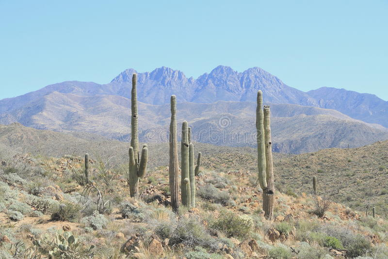 USA, Arizona: Saguaro Landscape at the Foothills of Four Peaks stock image