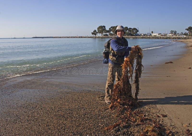 USA, California - November 24, 2009: A pile of giant kelp Macrocystis pyrifera on the beach stock photo