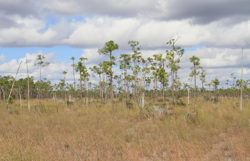 USA/Florida: Slash Pine Landscape in Everglades National Park. Slash Pines are native to the southeastern United States; these pines prefer humid climates and stock photos