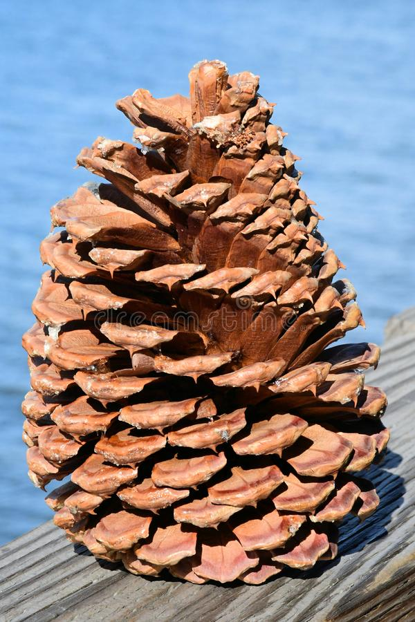 USA Lake Tahoe 10 inch Furcone of pinecone stock fotografie