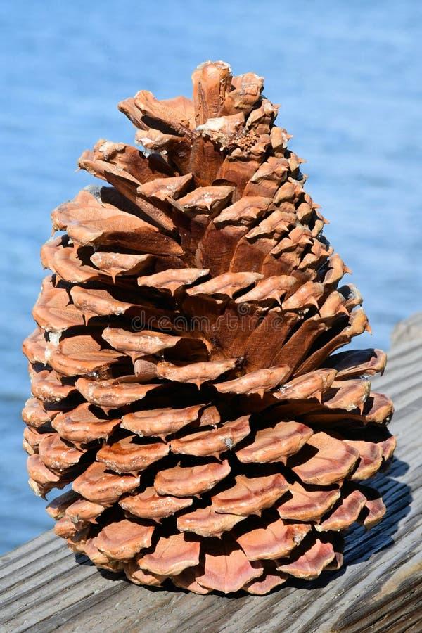 USA Lake Tahoe 10 Zoll Furcone oder Pinecon stockfotografie