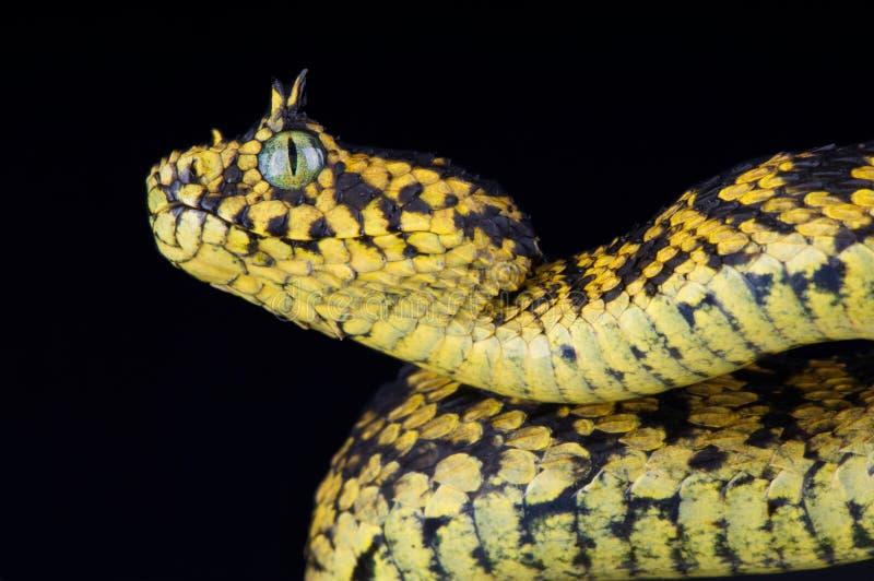 Usambara灌木蛇蝎Atheris ceratophora 免版税库存图片