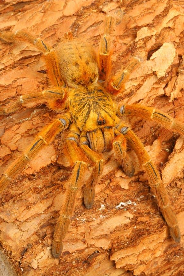 usambara tarantula павиана померанцовое стоковое изображение