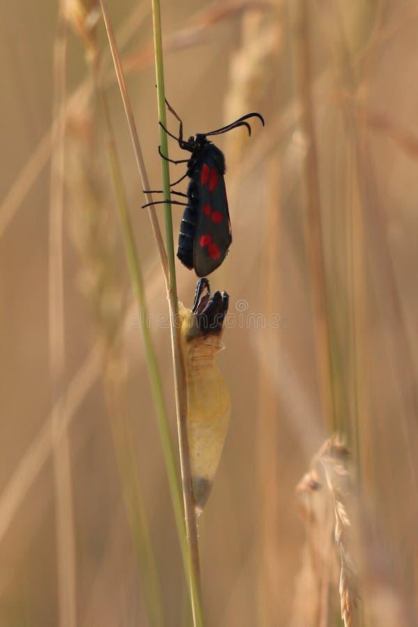 Uscire della farfalla del bozzolo immagine stock