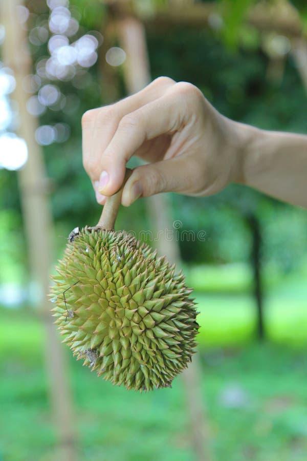 Use o assistente para levantar um durian pequeno de Montong que cai fora a ?rvore antes que possa ser usada como o alimento foto de stock