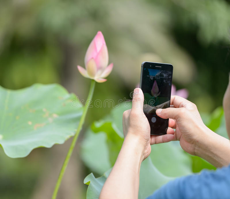 Use phone to take the photos of lotus stock photo image of lotus download use phone to take the photos of lotus stock photo image of lotus mightylinksfo