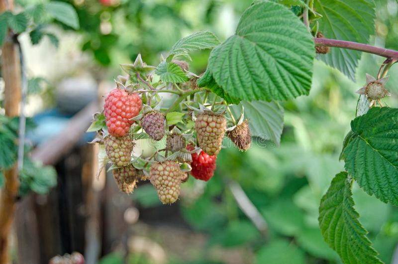 Ripe raspberries on a branch. Green bushes royalty free stock images