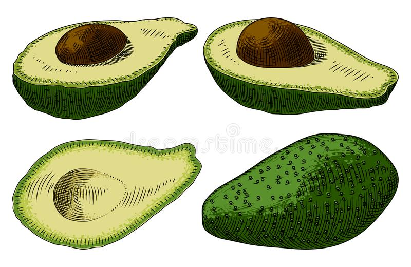 Useful vegetables. Avocado on a white background. Detailed drawing by hand stock illustration