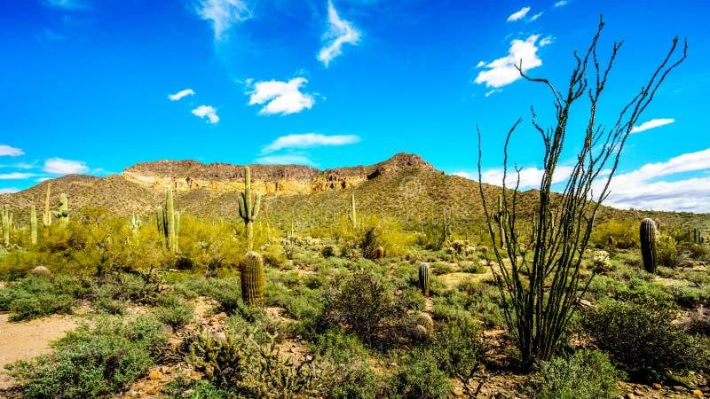 Usery山地方公园半沙漠风景有许多的Octillo、Saguaru、Cholla和桶式仙人掌 免版税库存照片
