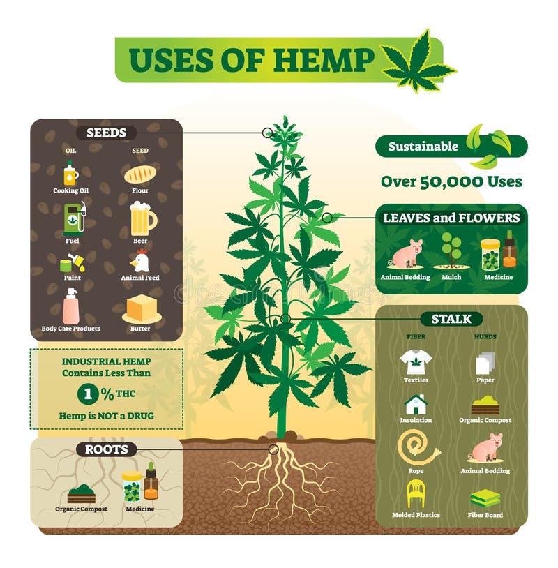 Uses of hemp vector illustration. Seeds, leaf, flower, root and stalk use. stock illustration