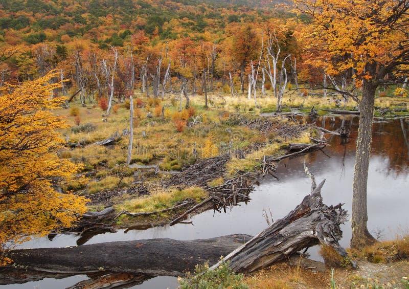 Ushuaia Park im Fall, Biberverdammung. stockbilder