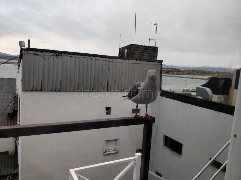 Ushuaiavogel stock afbeeldingen