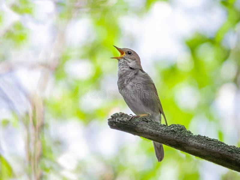 Usignolo di canto su un ramo di albero fotografia stock