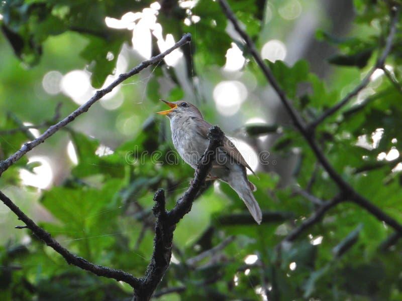 Usignolo di canto su un ramo di albero fotografia stock libera da diritti