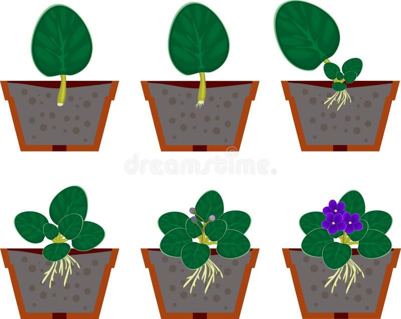 Usine à la maison africaine de violettes de reproduction végétative (saintpaulia) illustration stock