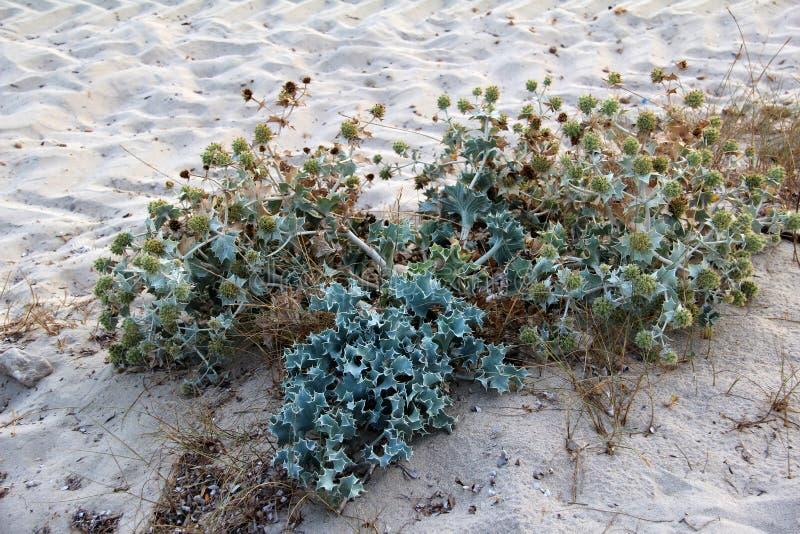 Usine épineuse sur les plages sablonneuses du méditerranéen photographie stock libre de droits