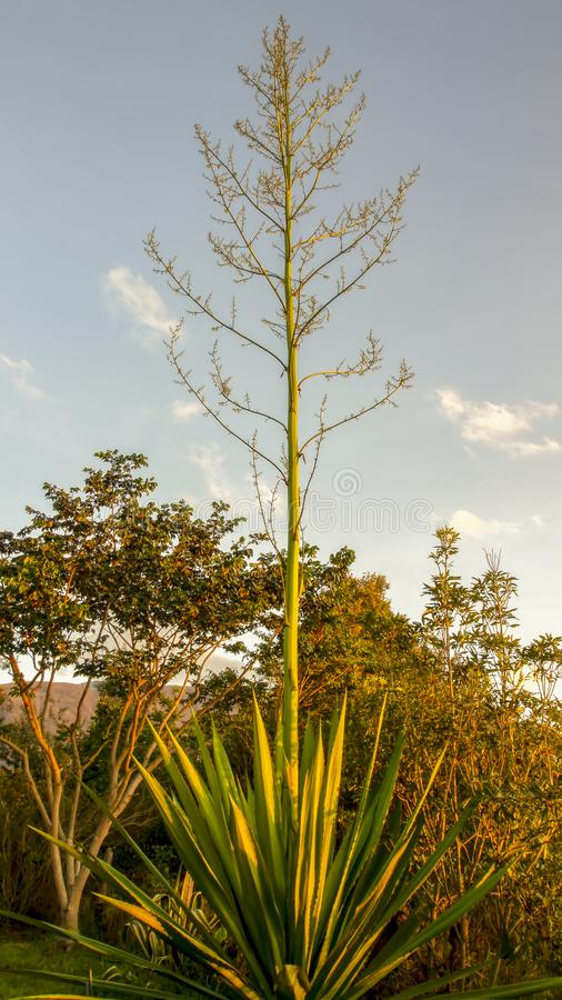 Usine americana d'agave avec des fleurs photographie stock