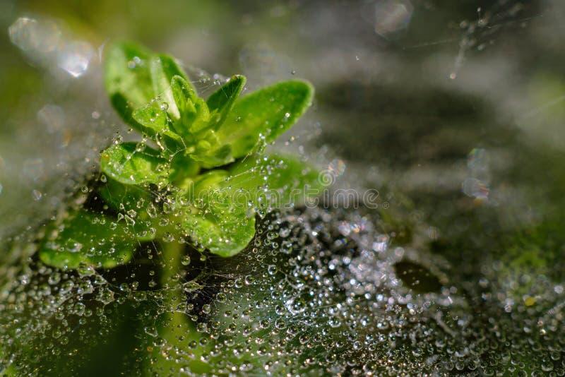 Usine avec de la toile d'araignée pleine des baisses de pluie image stock
