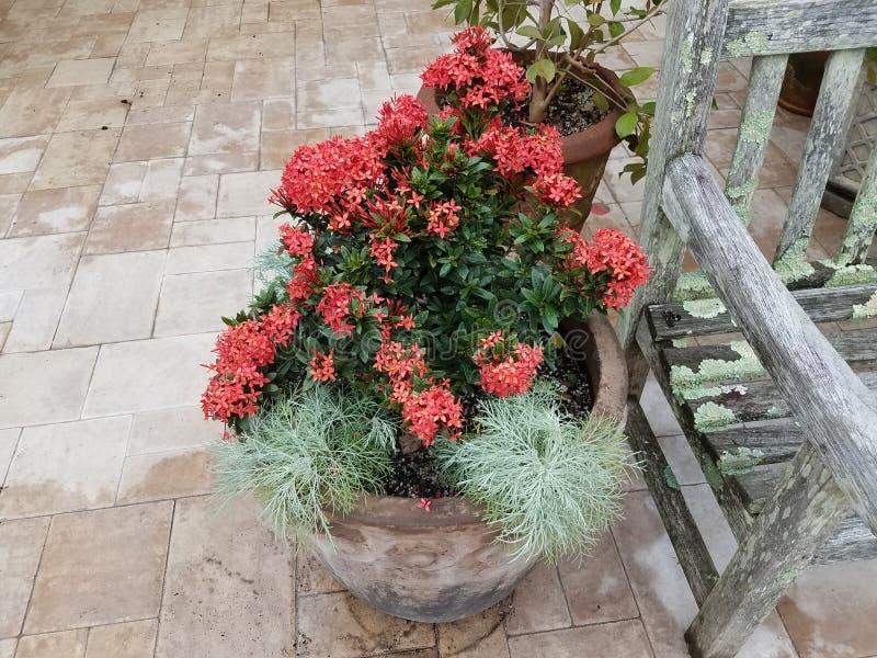 Usine avec des feuilles de vert et des fleurs roses dans le pot de fleur près du banc en bois avec le lichen photographie stock libre de droits