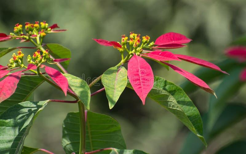 Usine avec les feuilles colorées magenta fraîches photographie stock libre de droits