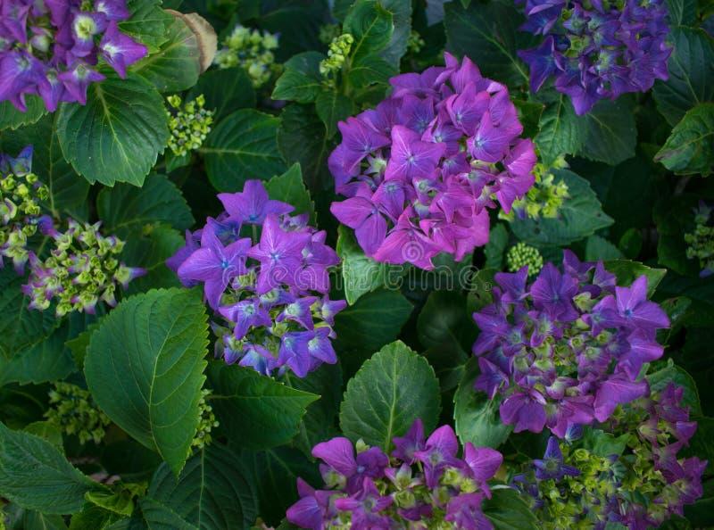 Usine avec les fleurs et les feuilles violettes de vert photographie stock libre de droits