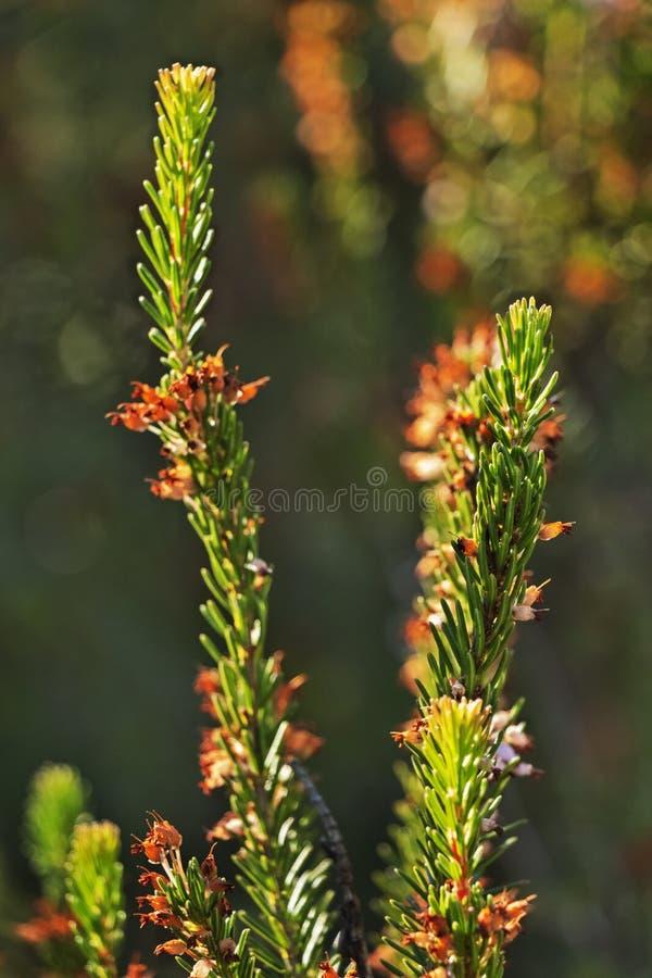 Usine Bruyère de Heath images stock