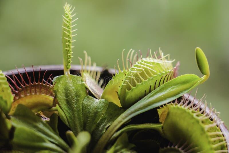 Usine carnivore, attrape-mouche de Vénus photo libre de droits