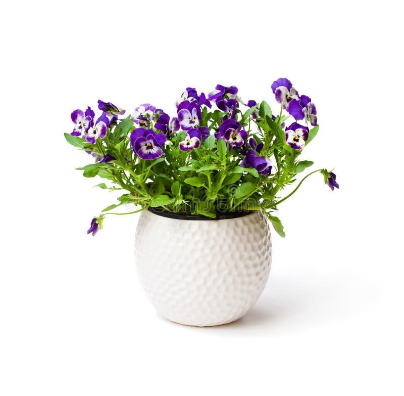 Usine colorée de fleur de pensée dans le pot blanc d'isolement photo stock