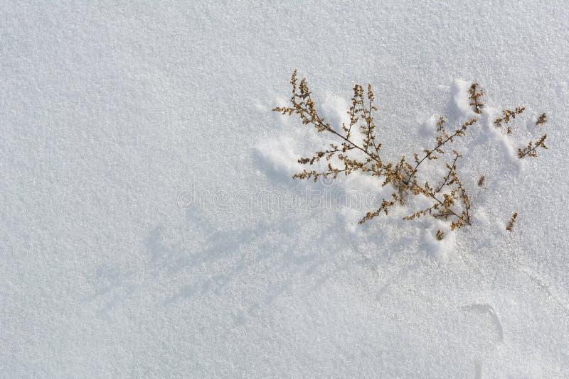 Usine congelée sèche dans le désert blanc froid de neige Fond de l'hiver Copiez l'espace photos stock