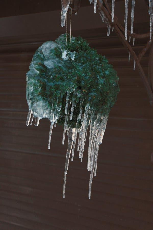 Usine décorative verte avec les glaçons accrochants photos libres de droits