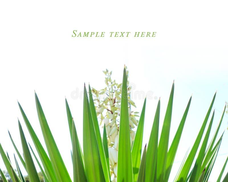 Usine d'agave avec les pétales blancs de Croatie image stock