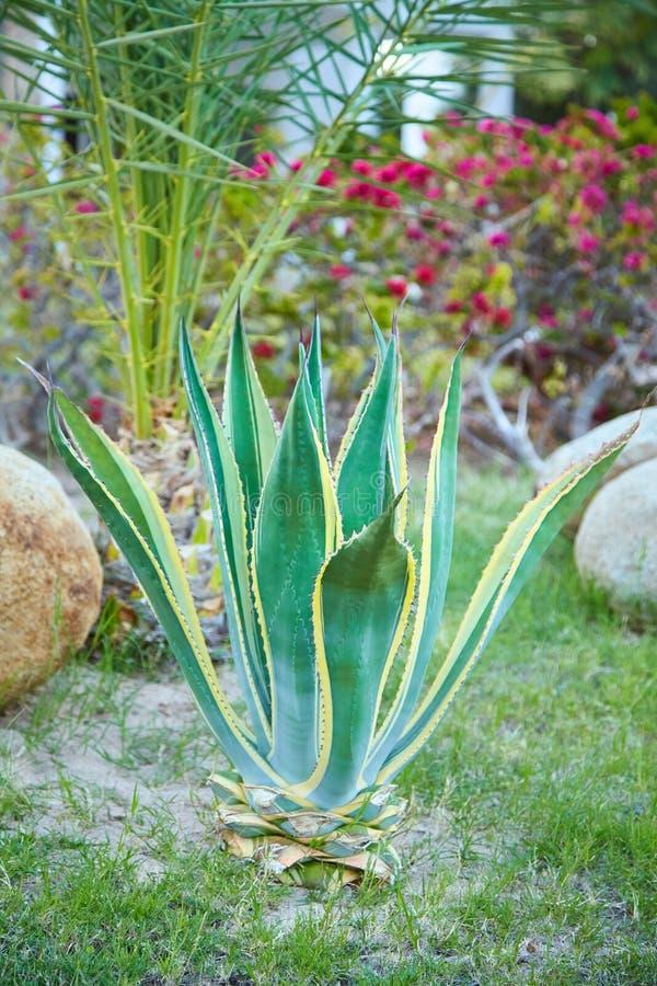Usine d'agave s'élevant dehors Tolérance plantplant de sécheresse d'agave photo stock