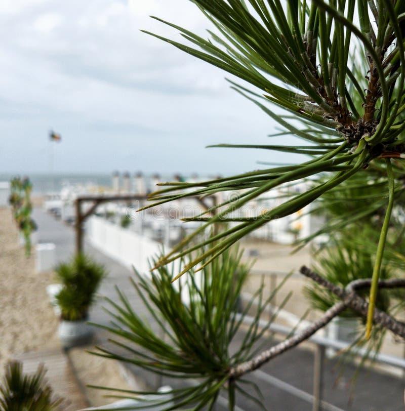 Usine d'aiguille s'élevant dans une entrée à une plage photographie stock