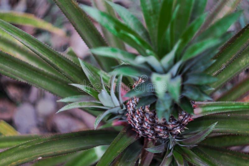 Usine d'ananas avec l'ananas s'élevant sur le dessus image libre de droits