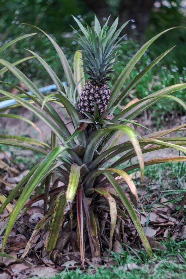 Usine d'ananas avec l'ananas s'élevant sur le dessus photographie stock libre de droits