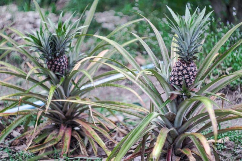 Usine d'ananas avec l'ananas s'élevant sur le dessus images libres de droits