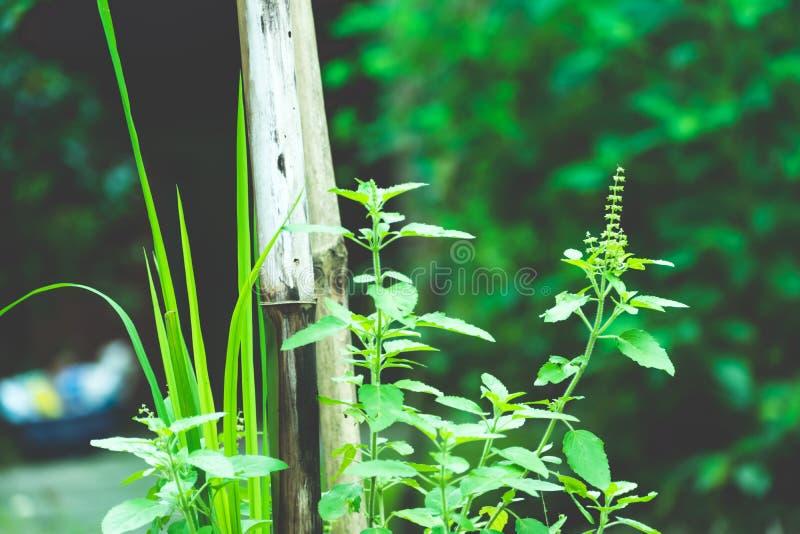 Usine d'arbre de vert de Tulasi images libres de droits