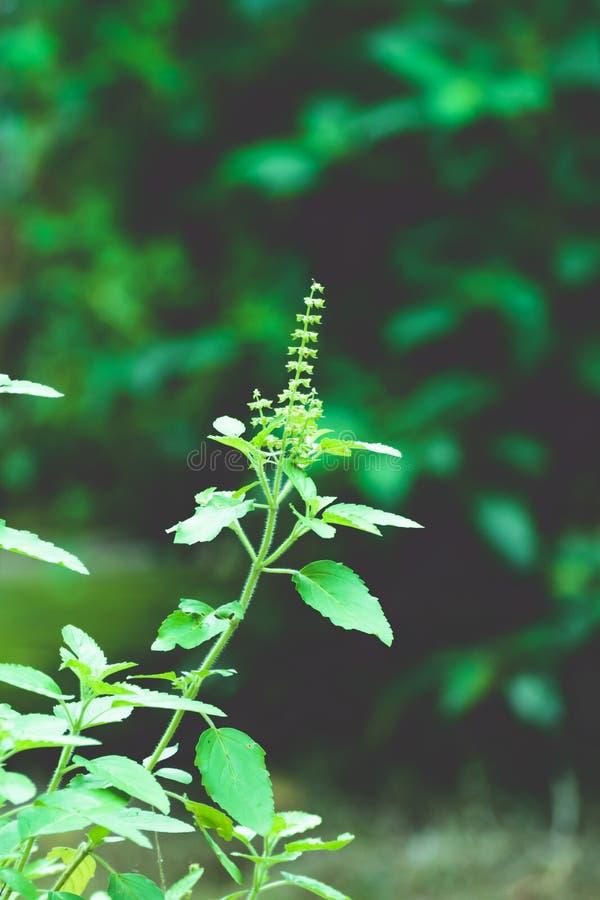 Usine d'arbre de vert de Tulasi image stock