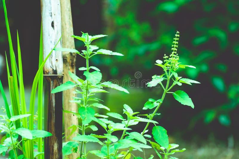 Usine d'arbre de vert de Tulasi image libre de droits